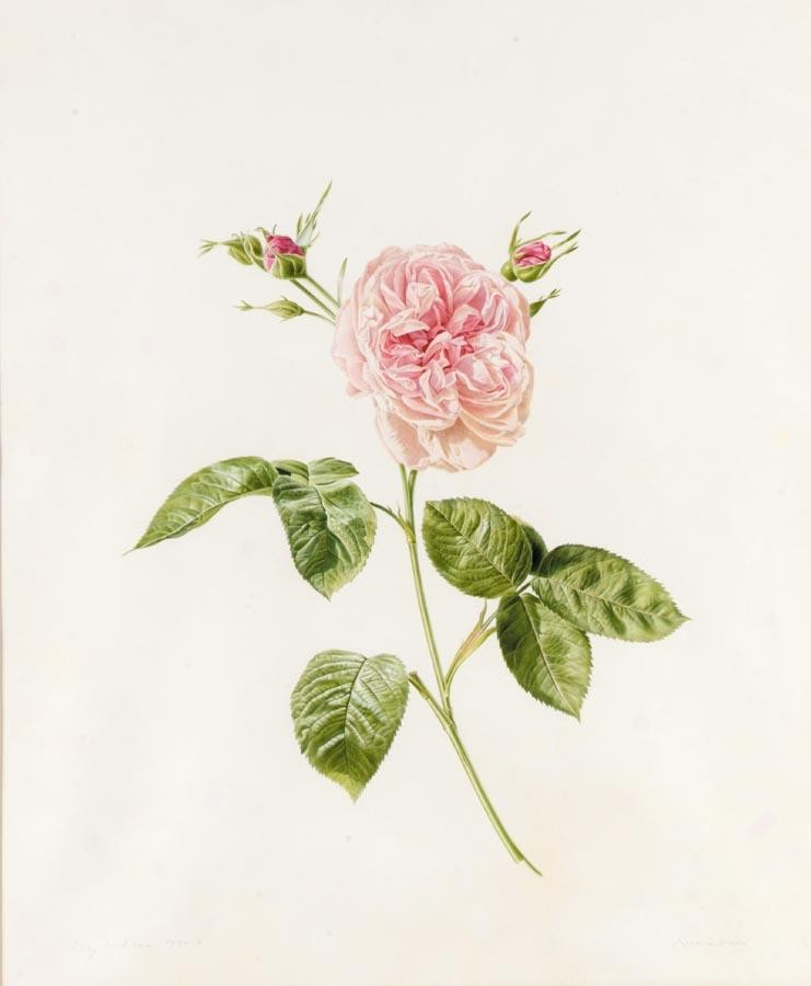 RORY MCEWEN 1932-1982 STUDY OF ZEPHERINE DROUIN, A PINK ROSE