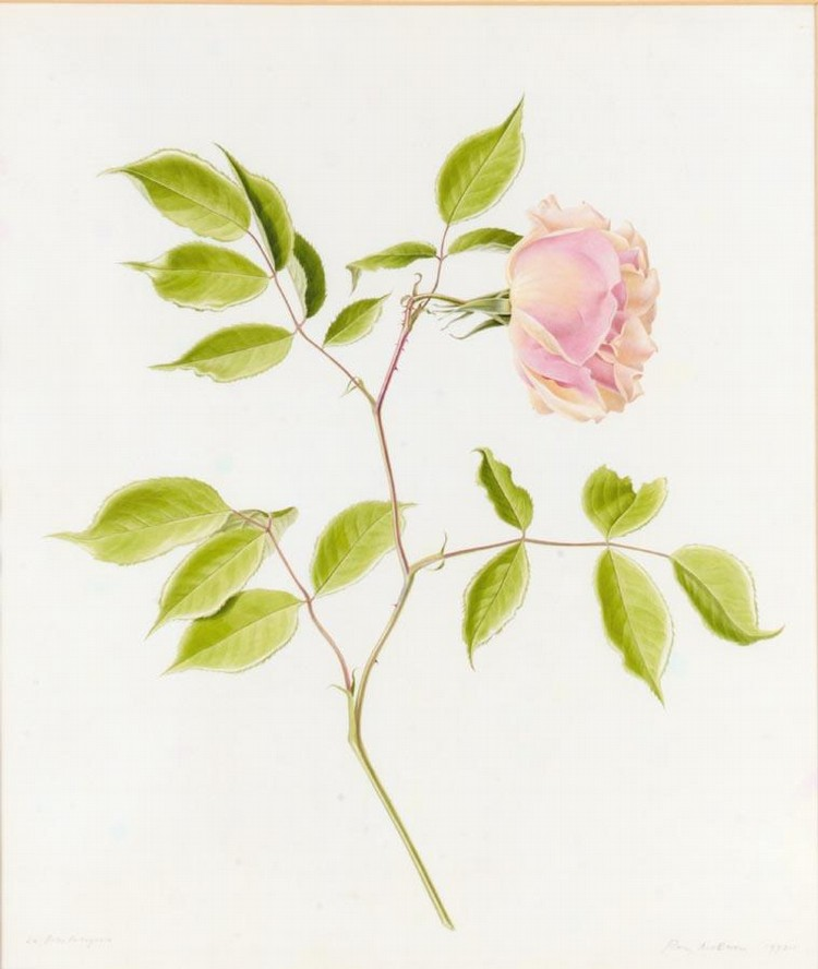 RORY MCEWEN 1932-1982 STUDY OF LA BELLE PORTUGUESE, A PINK ROSE