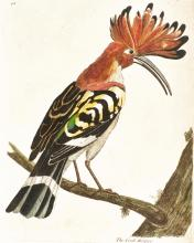 ALBIN. A NATURAL HISTORY OF BIRDS. 1731-34, 1740