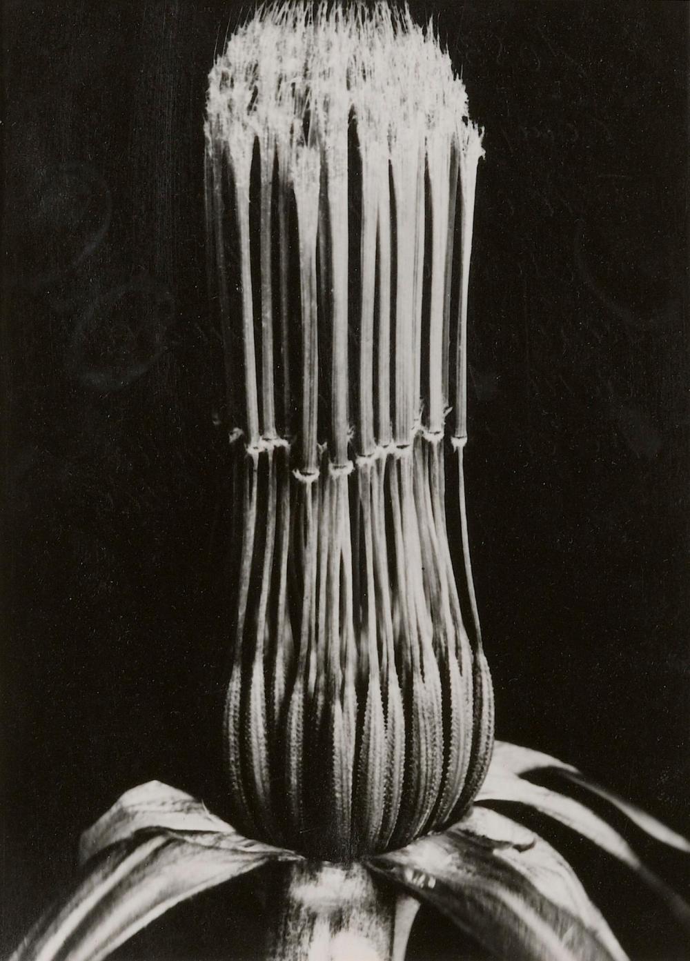 ALBERT RENGER-PATZSCH   Compositae, Tragopogon pratense, 1930 - 1939