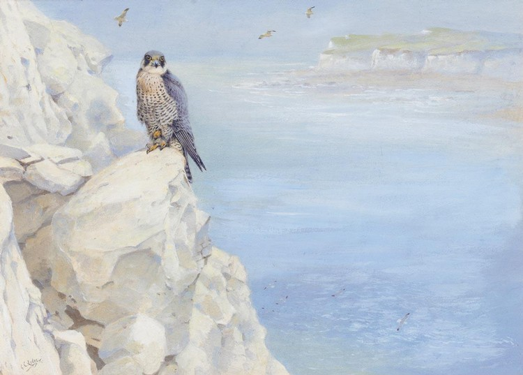 GEORGE EDWARD LODGE 1860-1954 PEREGRINE ON THE SOUTH COAST FROM THE COLLECTION OF THE LATE THE