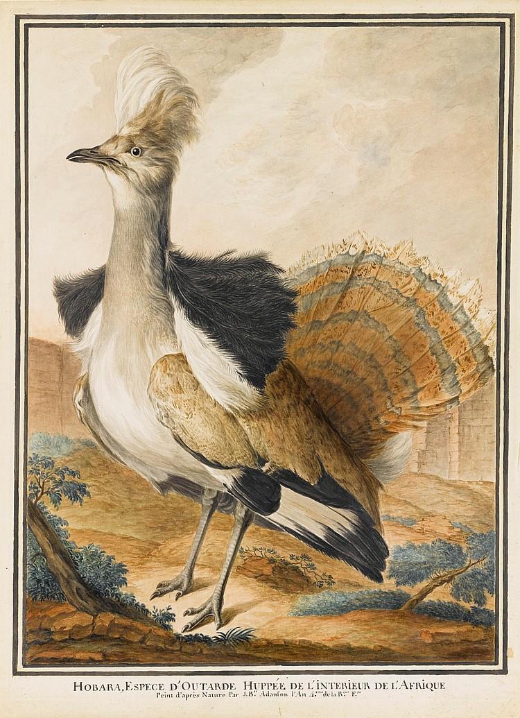 JEAN-BAPTISTE ADANSON | A Houbara Bustard standing in a landscape,fanning its tail feathers