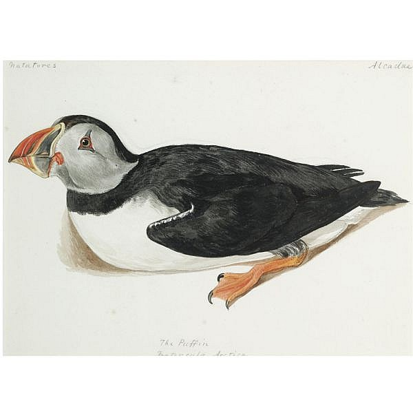 Jemima Blackburn , 1823?1909 The Puffin, Fratercula Arctica watercolour over pencil