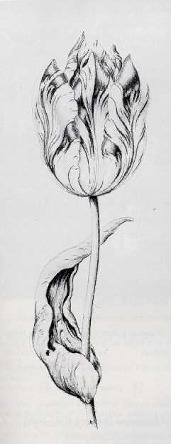DUTCH SCHOOL, 17TH CENTURY A RED AND WHITE TULIP.