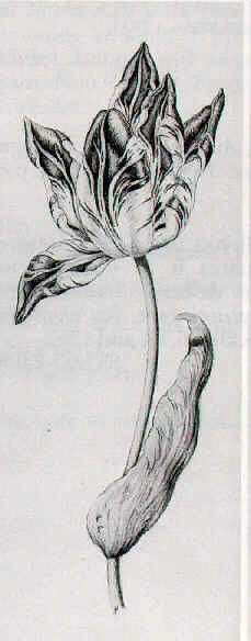 DUTCH SCHOOL, 17TH CENTURY STUDY OF A RED AND WHITE TULIP.