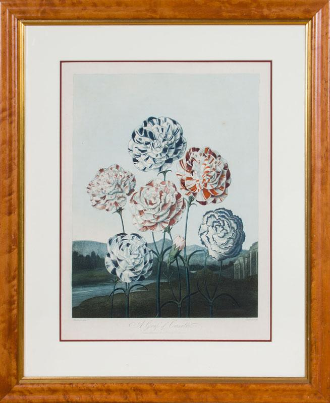 ROBERT JOHN THORNTON (1768-1837), AFTER HENDERSON: A GROUP OF CARNATIONS