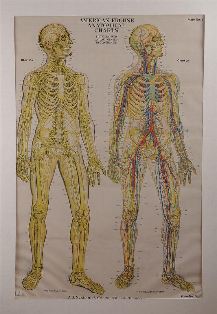 American Frohse Anatomical Charts The Nervous System And Th