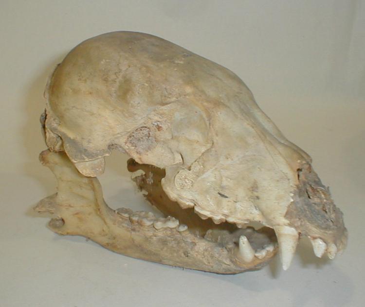 Antique K-9 Skull. 9