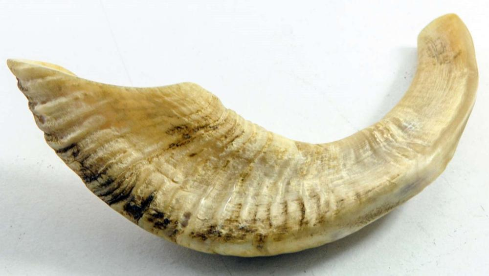 Antique Shofar Ram's Horn for Yom Kippur. Length: 36cm.