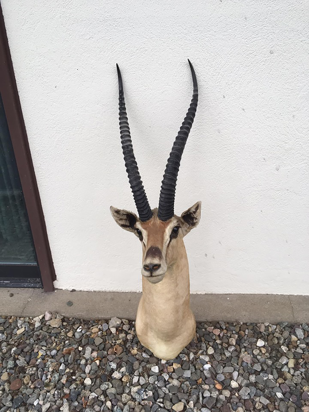 African Grant's Gazelle Taxidermy