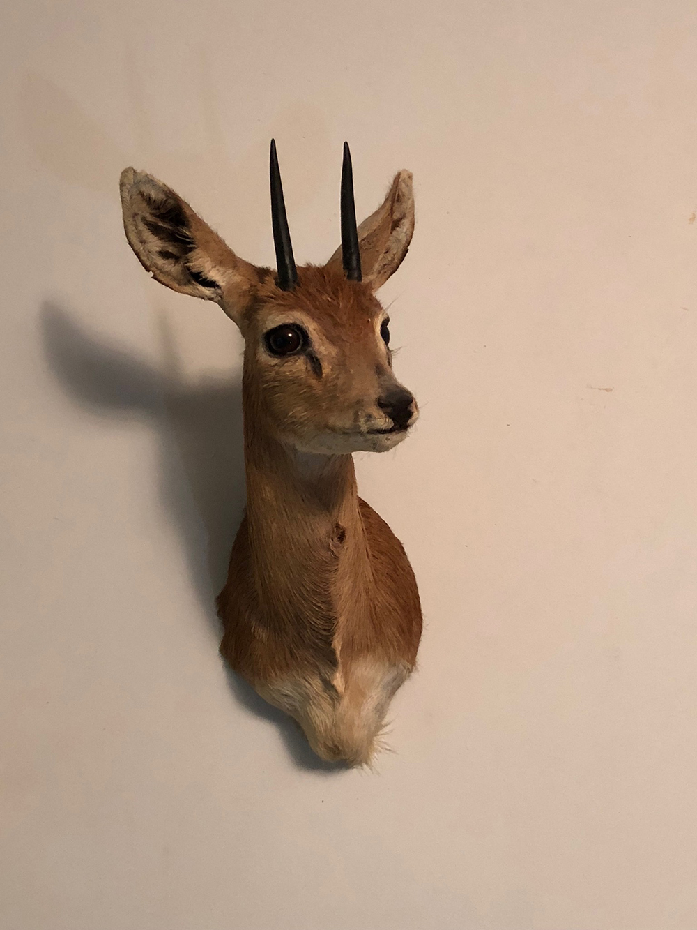 Lot 94: African Oribi Mount
