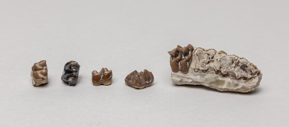 Rare Dinosaur Fossilized Teeth Collections