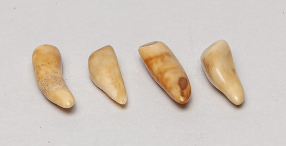 Rare Saber Tiger Type Teeth Collection