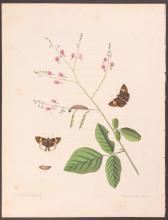 Abbot - White-bordered Skipper Butterfly. 20