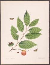 Abbot - Bat-Caterpillar Moth. 74