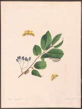 Abbot - Waved Yellow Egger Moth. 53