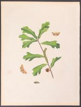 Abbot - Oak Lackey Moth. 59