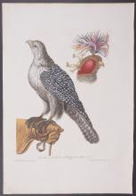 Knorr - Falconry; Falcon with Headdress. I3