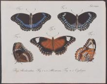 Jablonsky - Butterflies or Moths. 245