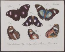 Jablonsky - Butterflies or Moths. 244