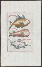 Salmon - Fish of Cape Mesurado from Marchais