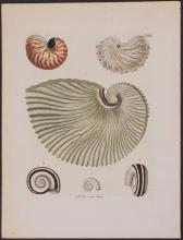 Knorr - Nautilus Shell. 2
