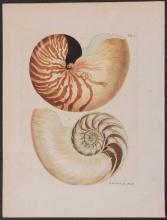 Knorr - Nautilus Shell. 1