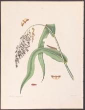 Abbot - Corn-Bud-Worm Moth. 96