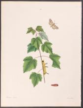 Abbot - Grey Maple Moth. 93