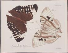 Jablonsky - Butterflies or Moths. 38