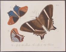 Jablonsky - Butterflies or Moths. 55