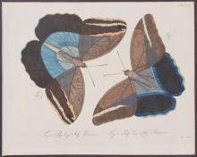Jablonsky - Butterflies or Moths. 30