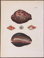Knorr - Cowrie Shells. 1-13