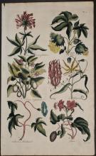 Hill - Cotton Tree, Nightshade, Bindweed, Gloriosa. 3