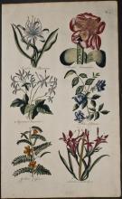 Hill - Pancratium Haemanthus, Jasmine, Clitoria, Cassia, Antholyza. 5