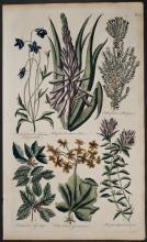 Hill - Campanula, Aloe, Geranium Trefoil. 9