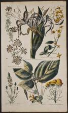 Hill - Aster, Pancratium, Screw Tree, Tanzy. 10