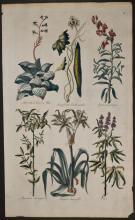Hill - Aloe, Snapdragon, Amaryllis, Vites. 11