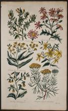 Hill - Borbonia, Starry, Senecio, St. John's Wort, Hermannia, Sautolina. 19