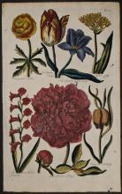 Hill - Tulip, Moly, Gladiolus, Peony, Fritillary. 38