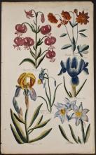 Hill - Martagon Lily, Columbine, Iris, Jonquil, Narcissus. 39
