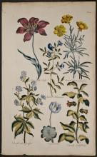 Hill - Tulip, Crowfoot, Sanguinaria, Nightshade. 40