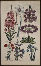Hill - Willowherb, Daffodil, Martagon Lily, Columbine, Gladiolus, Iris. 42