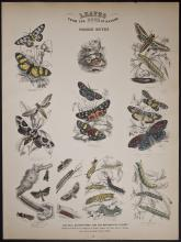 Jardine - Foreign Moths. 16