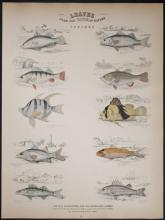 Jardine - Fish - Perches. 24