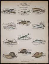 Jardine - British Fishes. 32