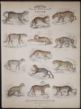 Jardine - Wild Cats. 38