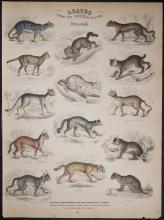 Jardine - Wild Cats. 42
