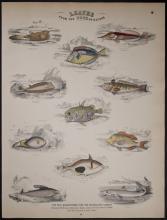 Jardine - Fish, Shark. 49
