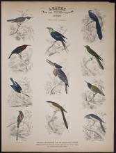 Jardine - Birds of Western Africa. 51